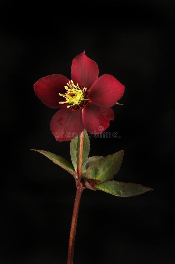 Fleur de Hellebore contre le noir image libre de droits