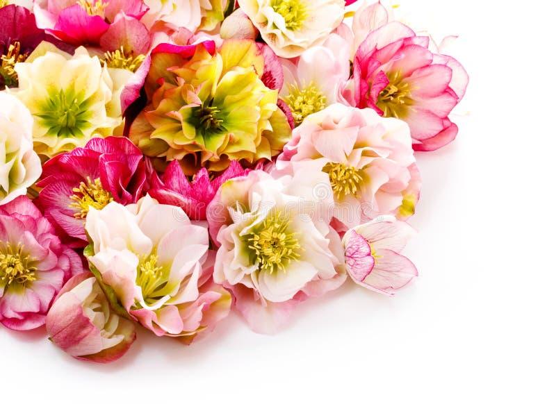Fleur de Hellebore ou orientalis de Helleborus d'isolement sur le blanc photographie stock