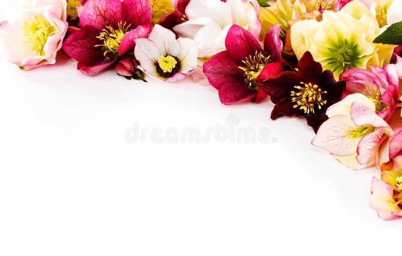Fleur de Hellebore ou orientalis de Helleborus d'isolement sur le blanc photo libre de droits