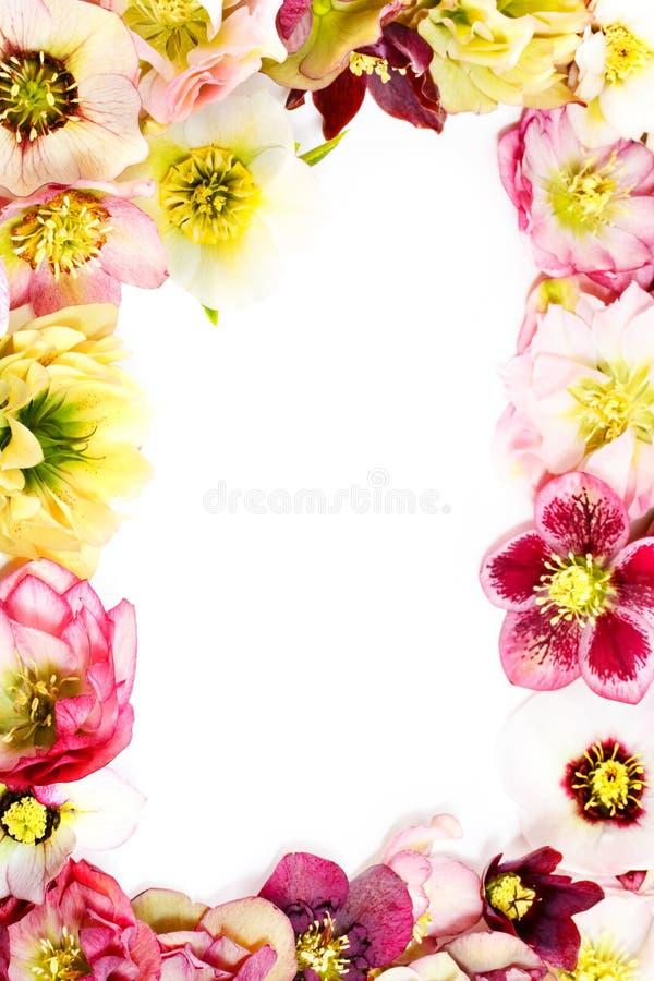 Fleur de Hellebore ou orientalis de Helleborus sur le blanc photos libres de droits