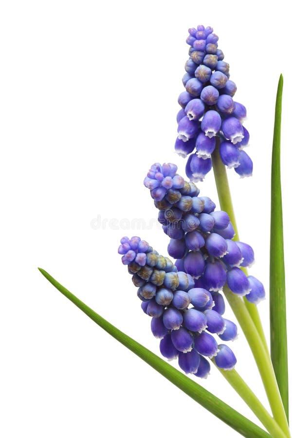 Fleur de jacinthe de raisin trois photos libres de droits