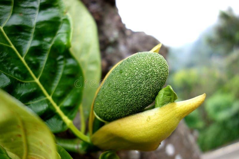 Fleur de jacquier fleurissant dans le jeune fruit photos libres de droits