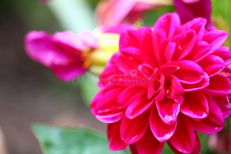 Fleur de jardin imagem de stock