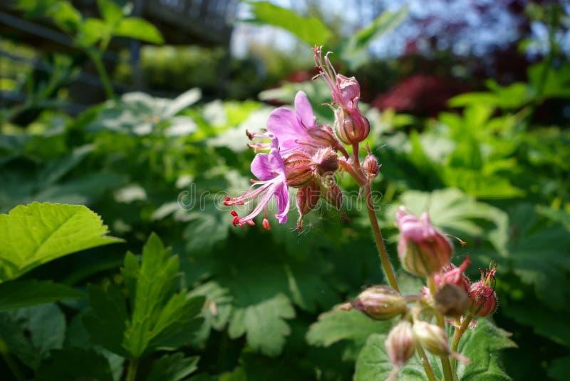 Fleur de jardin photographie stock libre de droits