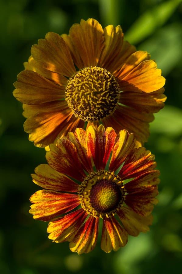 Fleur de jardin image stock