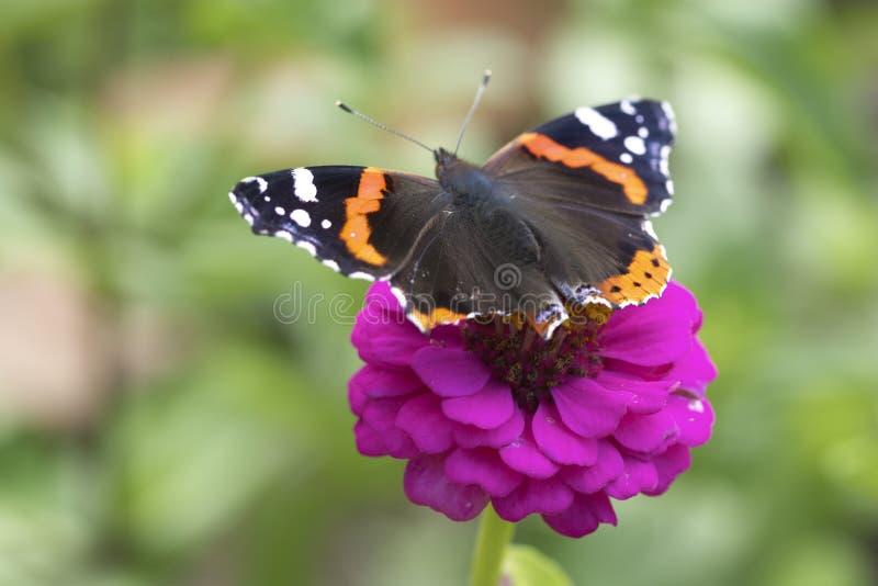 Fleur de jardin avec un papillon photos stock