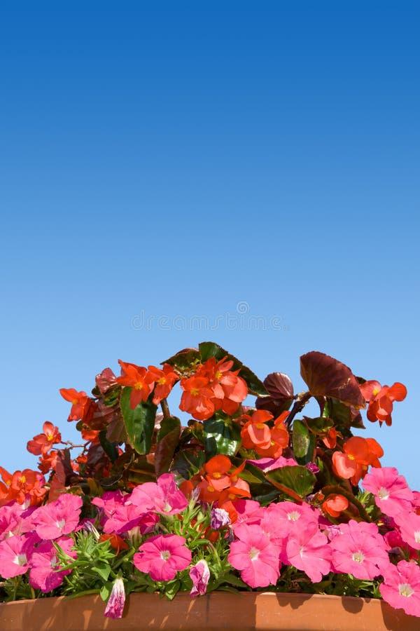 Fleur de jardin dans le bac photo stock