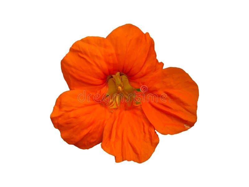 Fleur de jardin de Tropaeolum de nasturce d'isolement photographie stock libre de droits