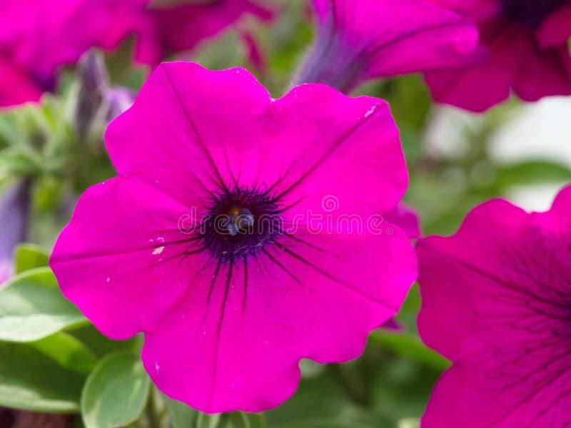 Fleur de jardin de Patricia image stock