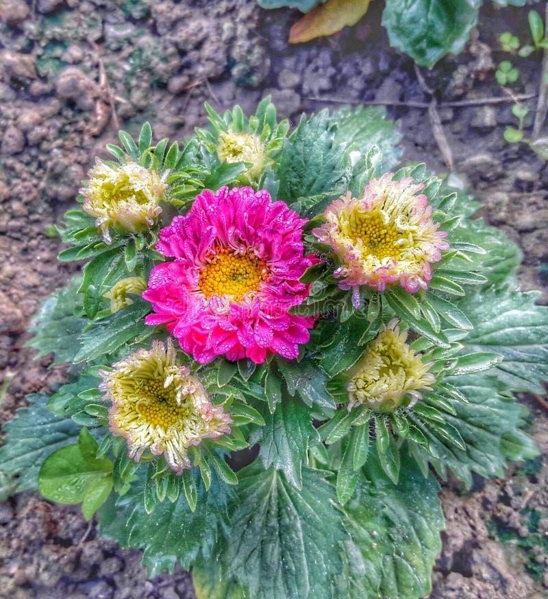 Fleur de jardin de TICI image stock