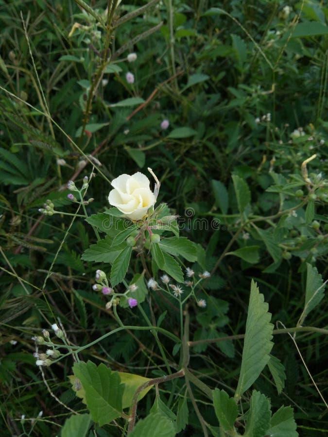 Fleur de jaune de bébé prématuré image stock