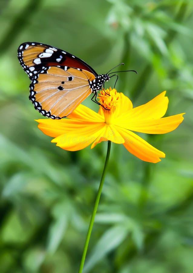 Fleur de jaune d'île de tigre de papillon photographie stock