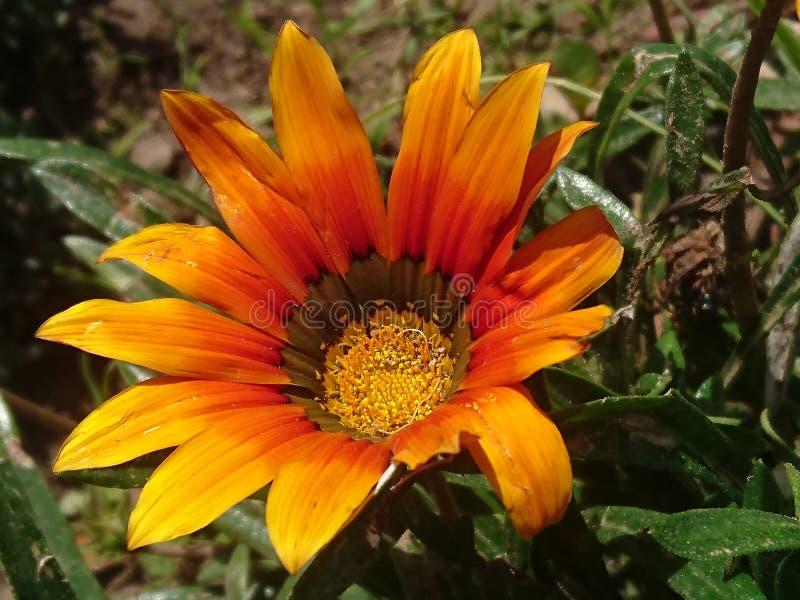 Fleur de jaune de dimanche photos libres de droits