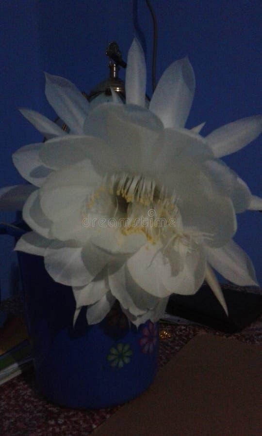 Fleur de Kadupul photos libres de droits