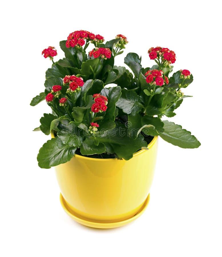 Fleur de Kalanchoe avec les fleurs rouges d'isolement sur le blanc photographie stock libre de droits
