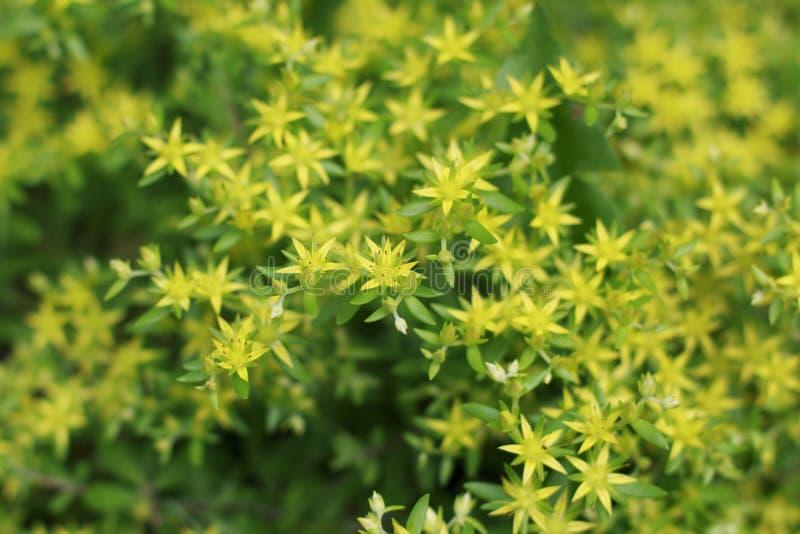 Fleur de kamtschaticum de sedum d'orpin photographie stock libre de droits