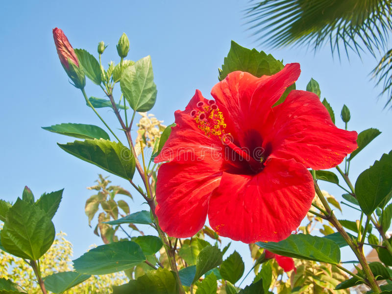 Fleur de ketmie photo libre de droits