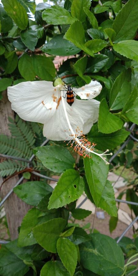 Fleur de ketmie avec le papier peint ked de fond de nature, images libres de droits