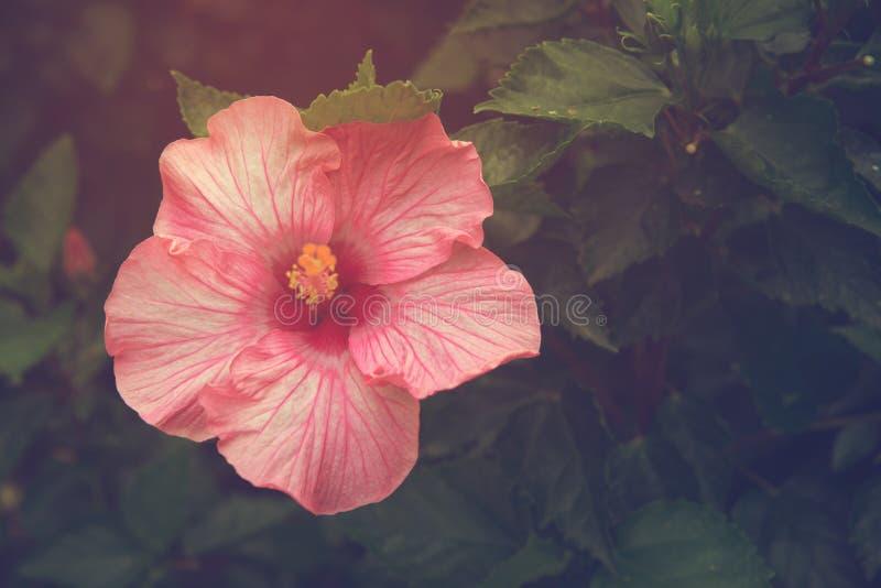Fleur de ketmie de vintage avec la lumière du soleil image libre de droits