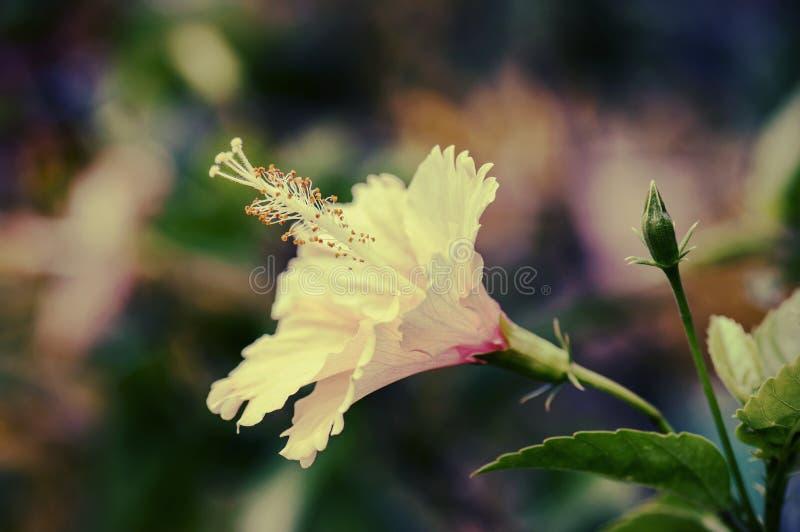 Fleur de ketmie - photo d'effet de style de vintage photos libres de droits