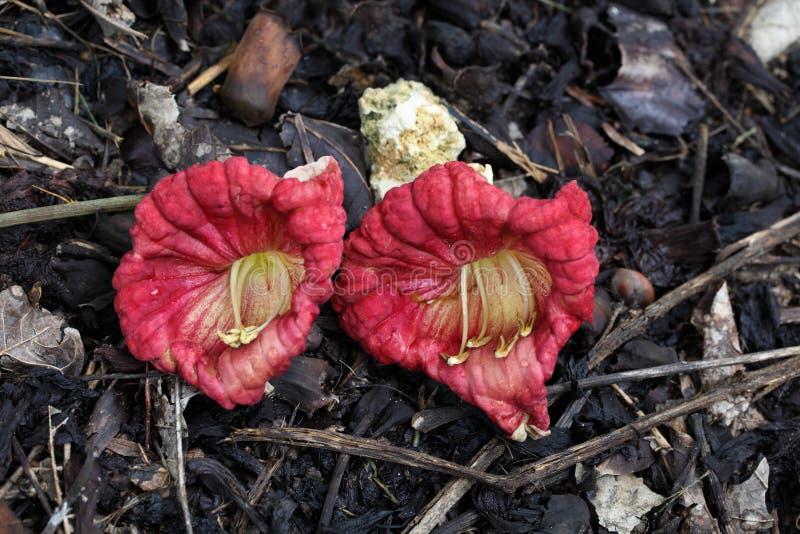 Fleur de Kigelia Afraicana image libre de droits