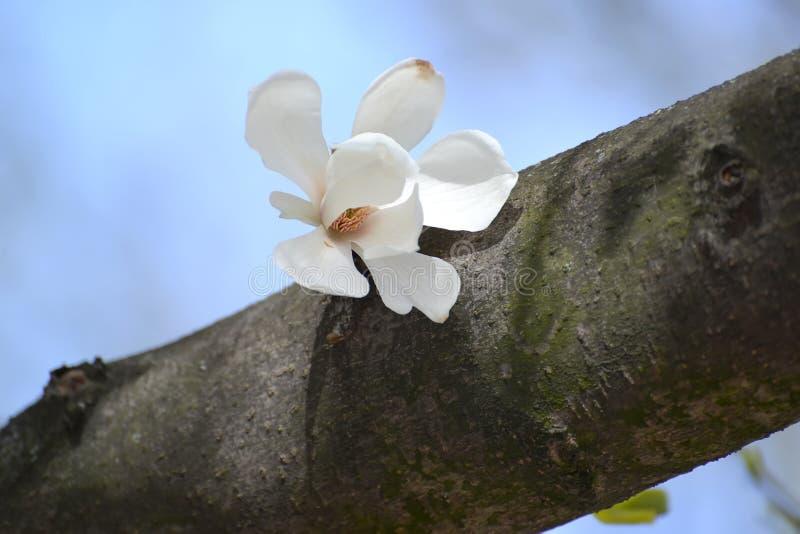 Fleur de kobus de magnolia (C.C de kobus de magnolia ) sur un tronc d'arbre photos stock