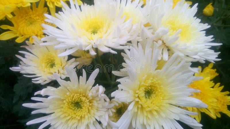 Fleur de Krisan image libre de droits