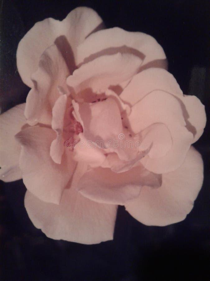 Fleur de l'amour photographie stock libre de droits