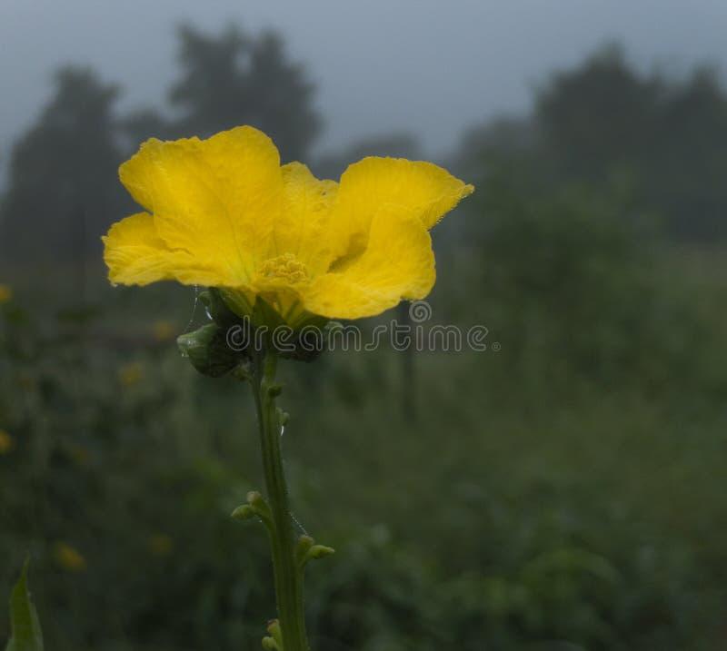 Download Fleur de l'usine de luffa image stock. Image du normal - 76080381