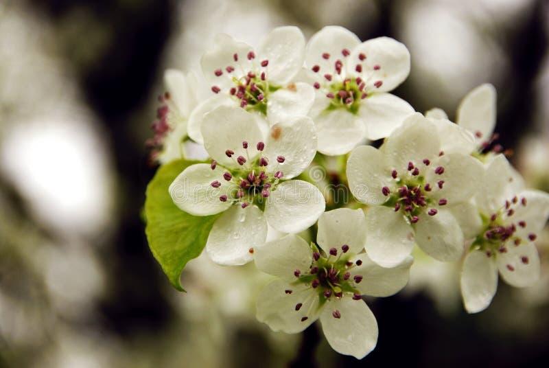 Fleur de la poire de Bradford photos stock
