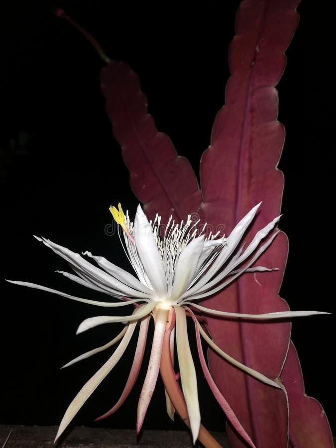 Fleur de la Reine Kadupul de nuit image stock