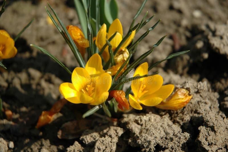 Fleur de la terre photos libres de droits