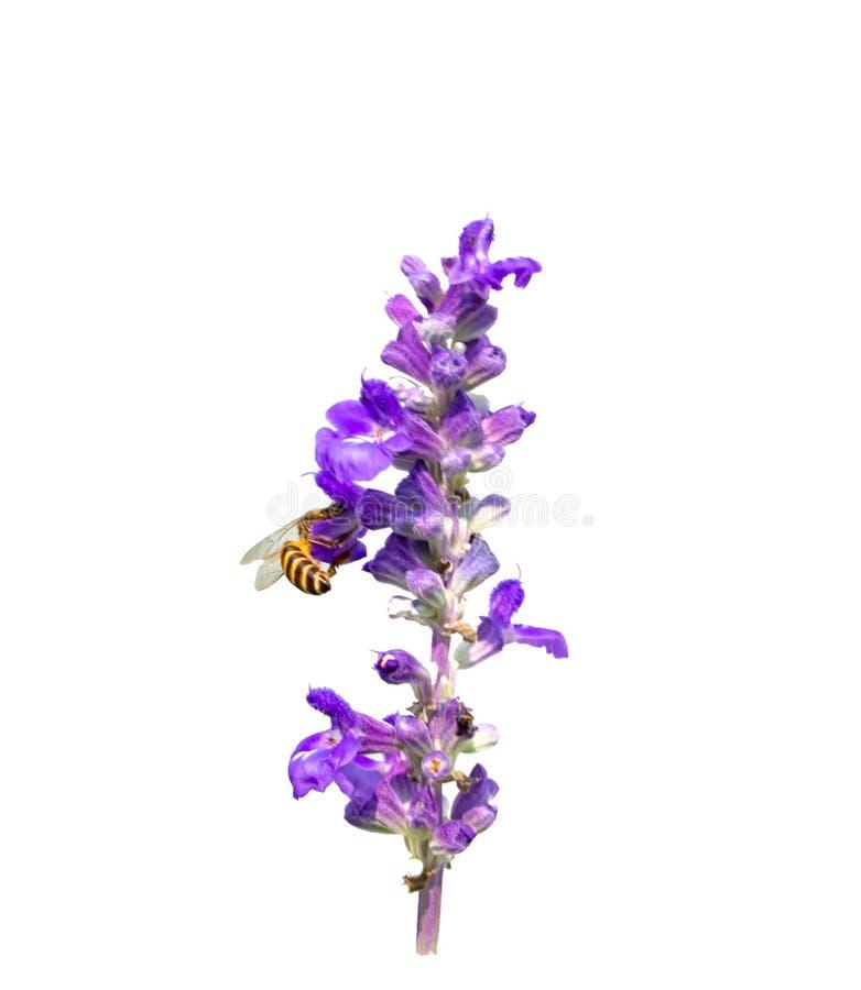 Fleur de lavande d'isolement sur le fond blanc photos stock