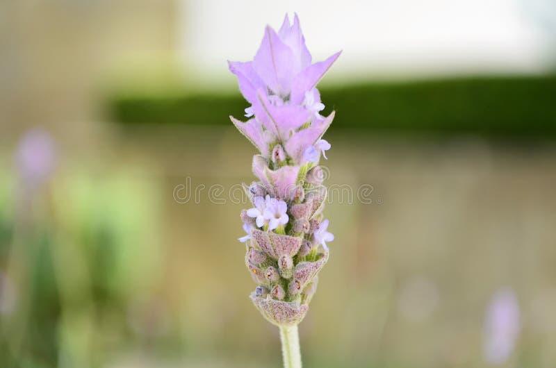 Fleur de lavande dans le jardin images libres de droits