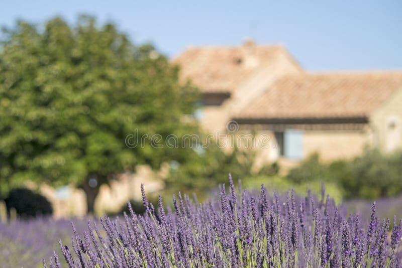 Fleur de lavande en Provence. Frances. image stock