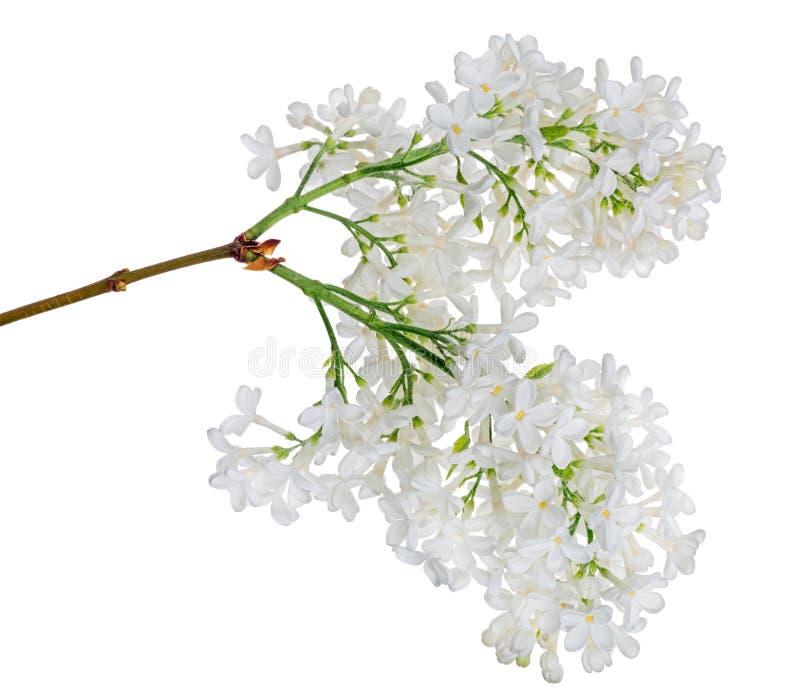 Fleur de lilas blanc isolée photo stock