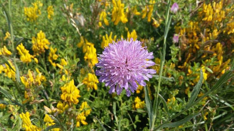 Fleur de Lille photo libre de droits