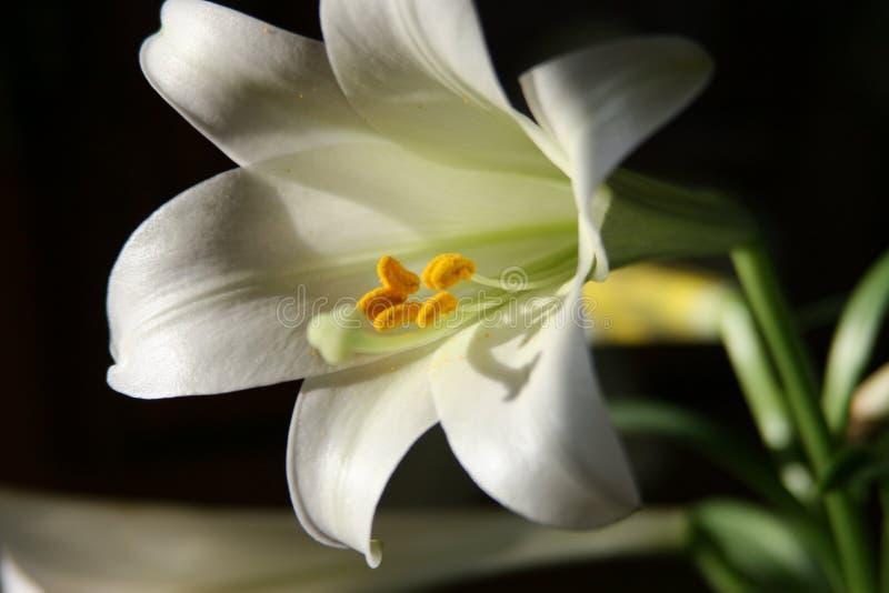 Fleur de Lilly image libre de droits
