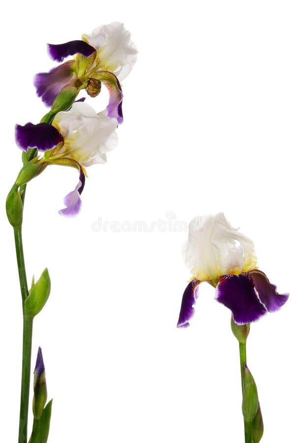 Fleur-de-lis royalty free stock photography