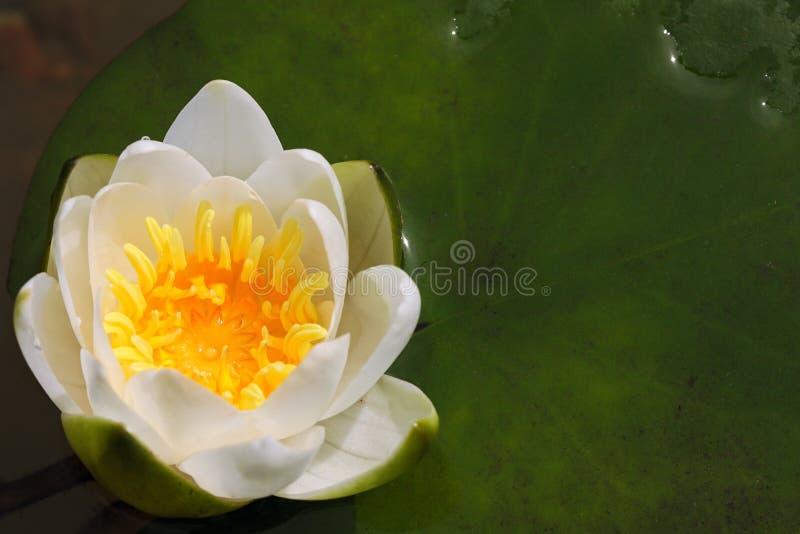 Fleur de lis blanc dans un étang photo stock