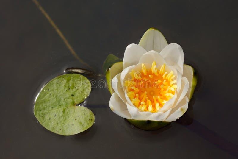 Fleur de lis blanc dans un étang photos libres de droits