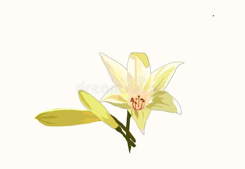 Fleur de lis blanc (lilium) photos stock