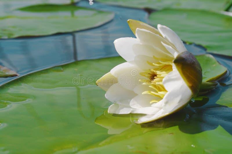 Fleur de lis d'eau flottant dans un étang photos libres de droits