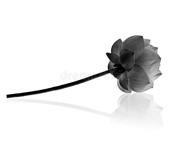 Fleur de Lotus à l'arrière-plan noir et blanc photo libre de droits