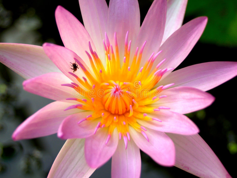 Fleur de lotus 01 photos libres de droits