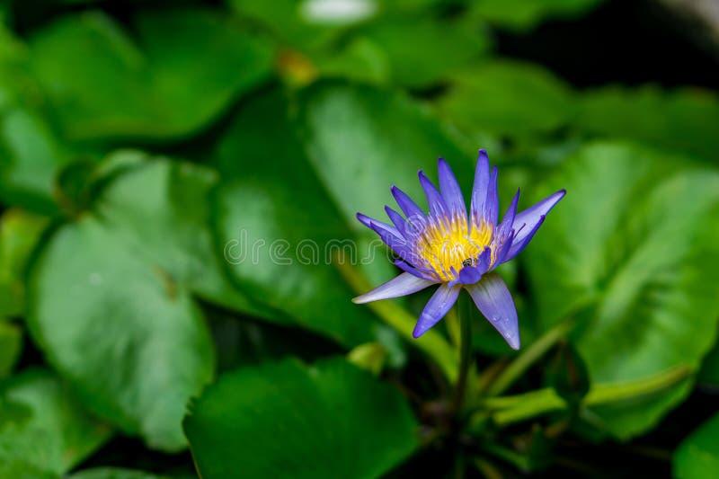 Fleur de Lotus, image stock