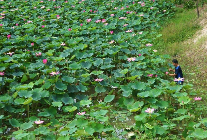 Fleur de lotus asiatique de cueillette d'agriculteur, étang de flore photos stock