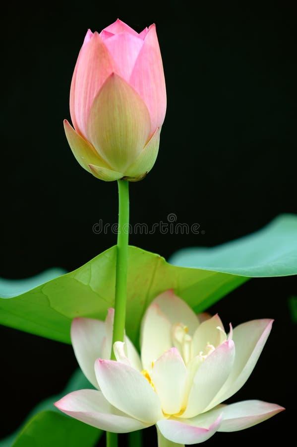 Fleur de lotus au-dessus de noir images stock