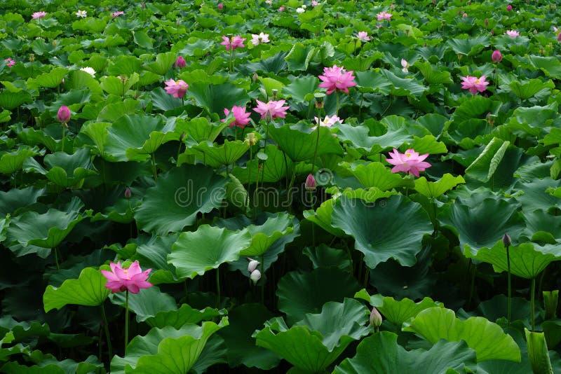 Fleur de Lotus avec les feuilles vertes photos libres de droits