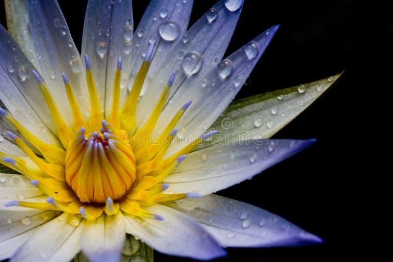 Fleur de lotus blanc image libre de droits